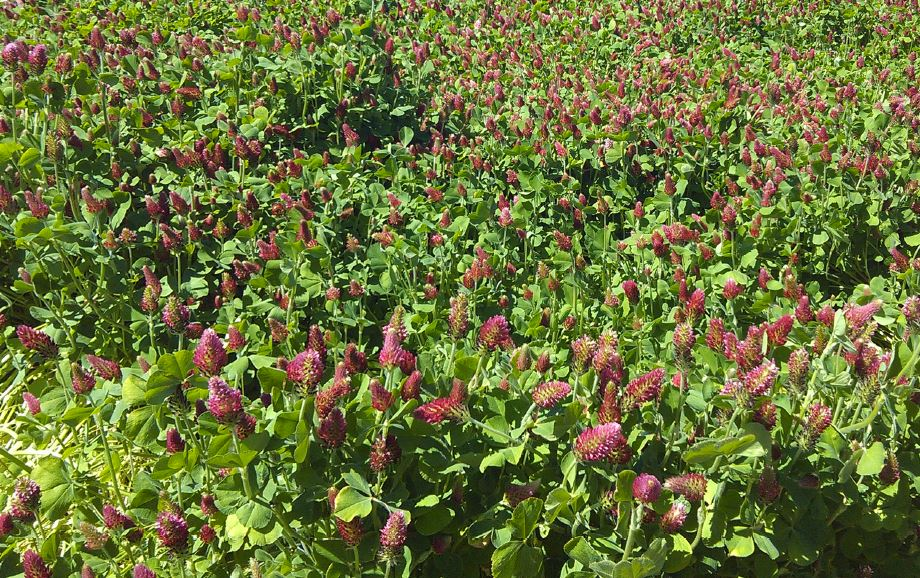 Captain Crimson Clover